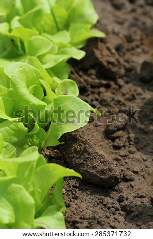 lettuce -healthy eating concept