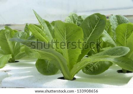 Lettuce in farm - stock photo