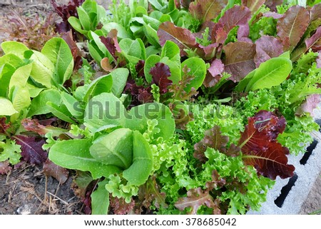 lettuce in vegetable garden