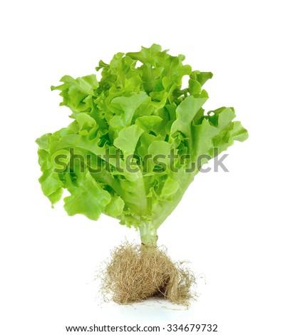 Lettuce nontoxic organic isolated on white. - stock photo