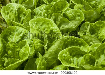 Lettuce, Organic, Healthy food - stock photo