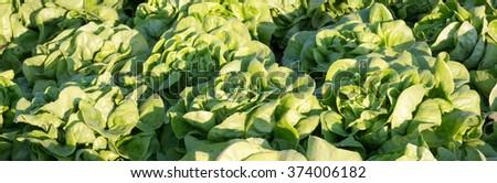 Lettuce, Rows of fresh lettuce plants on a fertile field - stock photo