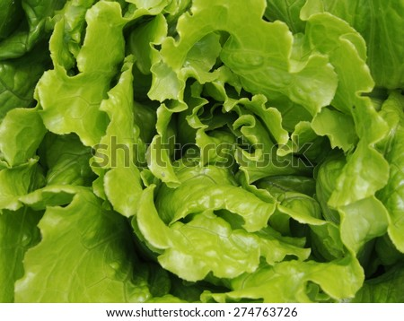 Lettuce sativa in the field  - stock photo