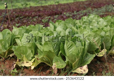 lettuces on field/farmland
