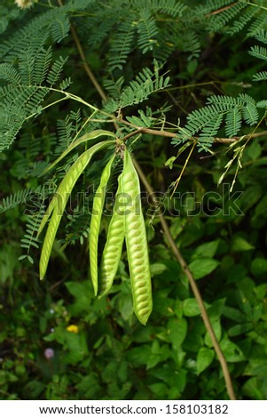 Leucaena leucocephala or Herbal ipil ipil bean