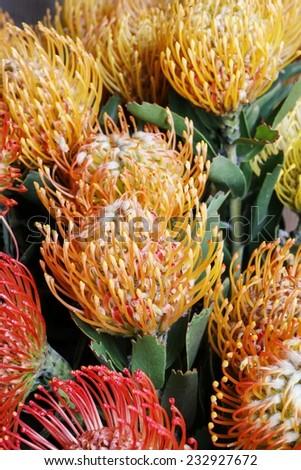 Leucospermum cordifolium flower (pincushion protea) - stock photo