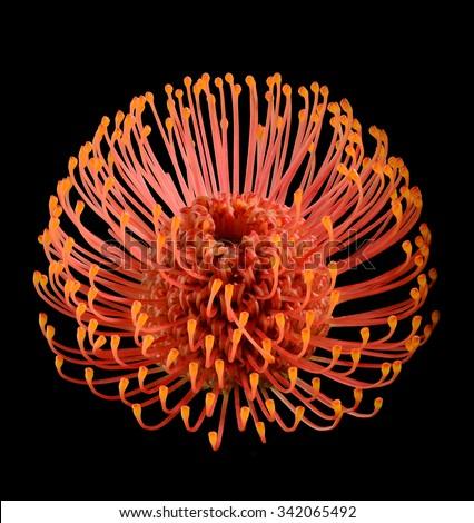 Leucospermum cordifolium (red pincushion-protea) top angle view close up isolated on black - stock photo
