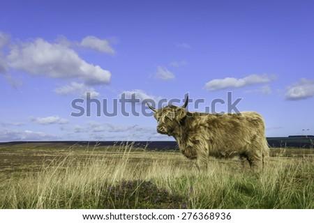 Levisham, Yorkshire, UK. Scottish Highland cattle graze on open pasture in the heart of the North York Moors National Park on a sunny day in summer near Levisham, Yorkshire, UK. - stock photo