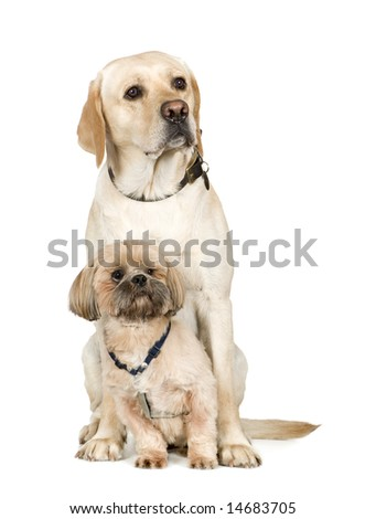 Lhasa Apso and a labrador in front of white a background