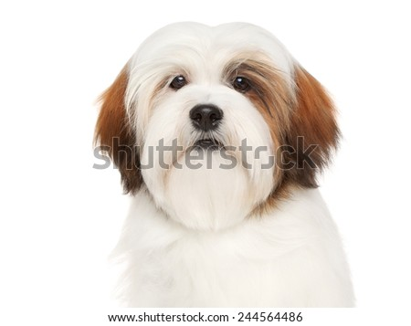 Lhasa Apso dog. Close-up portrait on a white background - stock photo