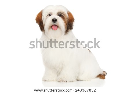 Lhasa Apso in front of a white background - stock photo