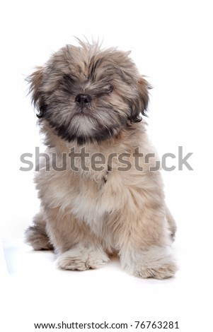 Lhasa Apso puppy in front of a white background