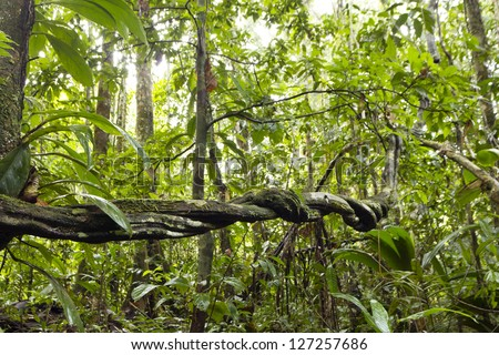 Lianas winding through the rainforest in the Ecuadorian Amazon - stock photo