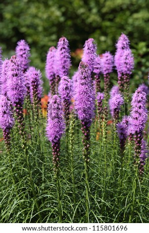 Liatris (Blazing-star, Gay-feather or Button snakeroot) is a genus of ornamental plants in the Asteraceae family - stock photo