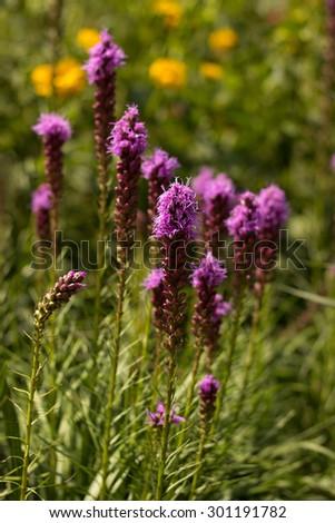 Liatris spicata blooming in the garden - stock photo