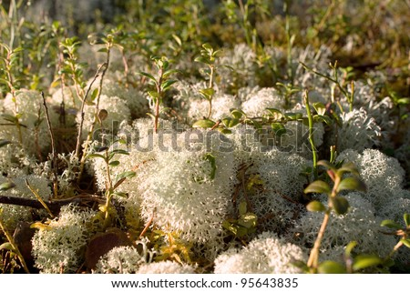 Lichen on a hummock in sunny day - stock photo