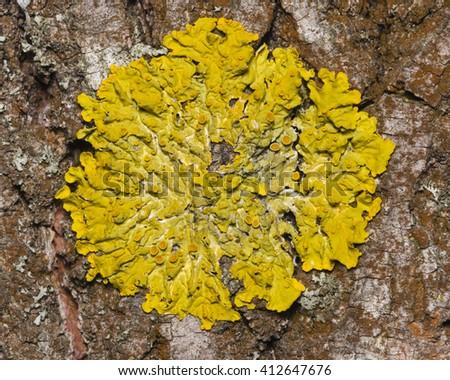 Lichen Xanthoria parientina on aspen tree bark macro, selective focus - stock photo