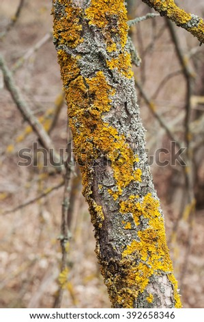Lichen yellow moss on the Apple tree
