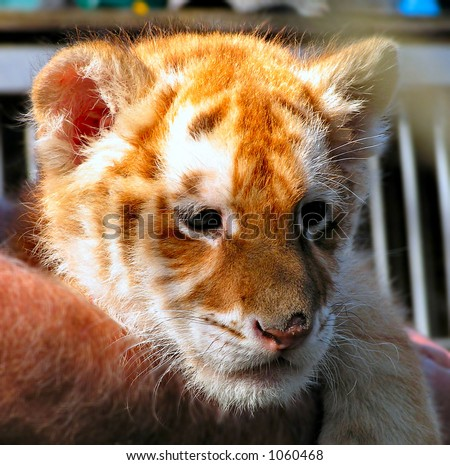 Liger (cross of Lion and Tiger) - stock photo