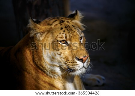 Liger lit by the setting sun. Novosibirsk Zoo - stock photo