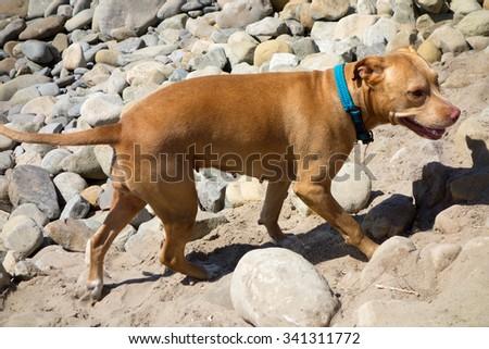 Light brown female dog walking on the beach rocks - stock photo