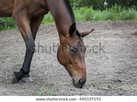 light brown horse walking and sniffing the gray sand