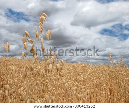 Light brown, ripe oat in close-up in front of an impressive cloudscape. Taken at the end of July in Germany.  - stock photo