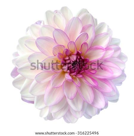 light colorful dahlia flower isolated on white background - stock photo