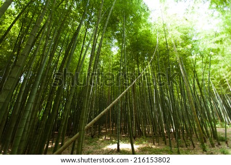 Light in the bamboo forest  - stock photo