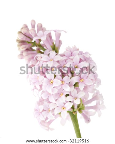 light lilac flowers isolated on white background - stock photo