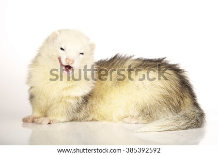 Light other tones color ferret female on white background