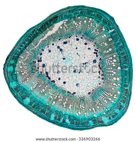Light photomicrograph of Cotton stem cross section seen through microscope - stock photo