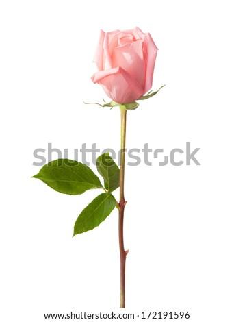 Light pink rose isolated on white background. - stock photo