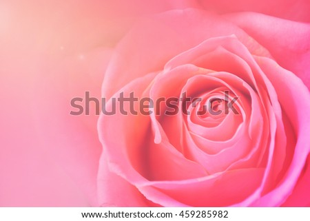 Light pink roses in soft color and blur style for background