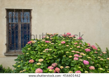 Light pink to darker pink hortensia flowers on large bush growing in front of a beige wall with antique style window with decorative wrought iron bars. - stock photo