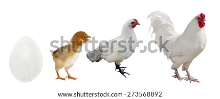 light rooster stage of life isolated on white background - stock photo