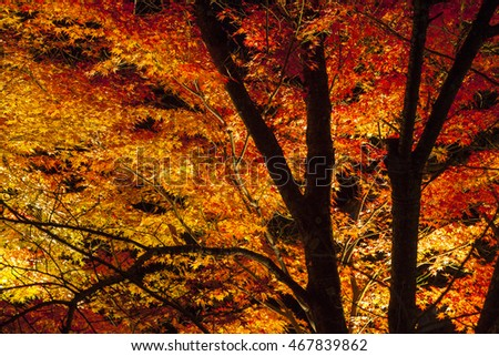 Light up on Colorful Japanese maple tree at night in autumn, Kyoto, Japan.