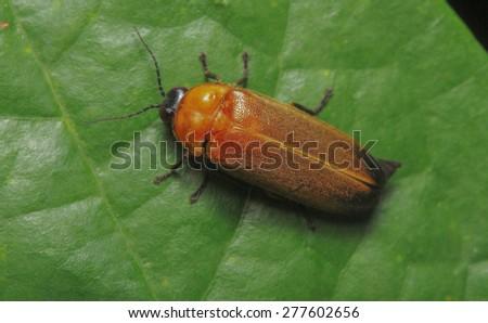 Lightning bug, Pteroptyx tener Firefly - stock photo