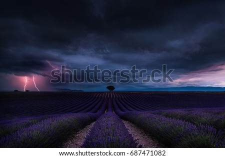 lightning storm with dramatic clouds over lavender field and lonely tree