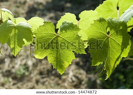Lights and shadows on green grape leaves