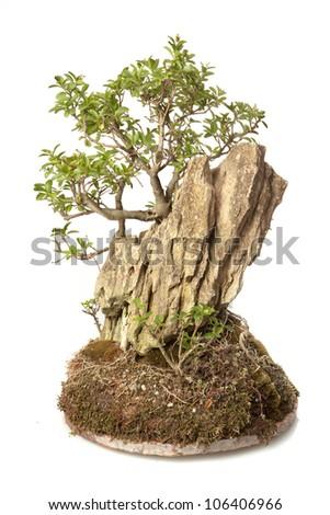 Ligustrum japonicum bonsai isolated on white - stock photo