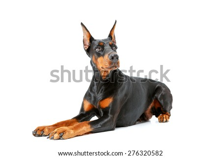 Like egyptian dog. Dog lying on white isolated background and fixedly looking somewhere aside - stock photo