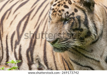 Like most of tiger family, bengal tiger was elusive - stock photo