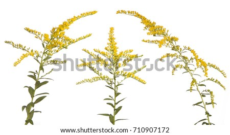 Like three kings, these vibrant colored goldenrod flowers stand together on a white background.
