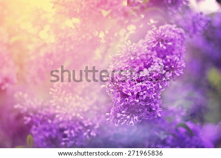 Lilac beautiful flowers growing in spring. Nature pastel colors.  - stock photo