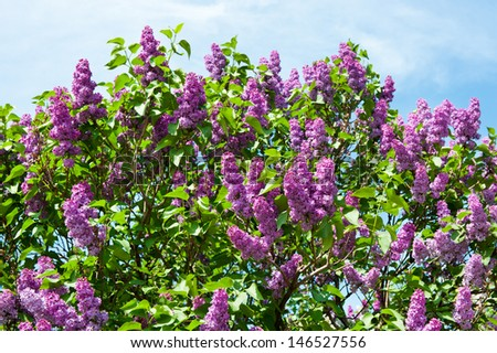 Lilac branch against blue sky
