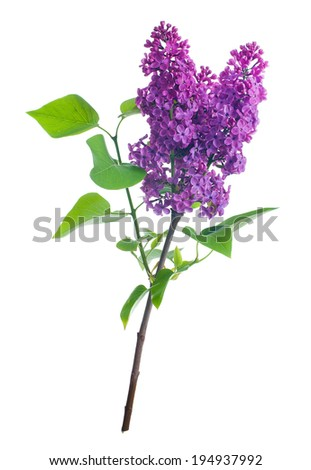 Lilac branch. Isolated on white. - stock photo