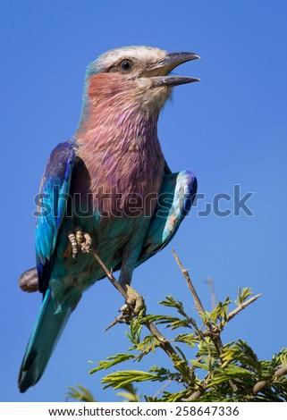 Lilac Breasted Roller - stock photo