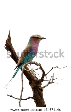 Lilac breasted roller bird isolated white background - stock photo