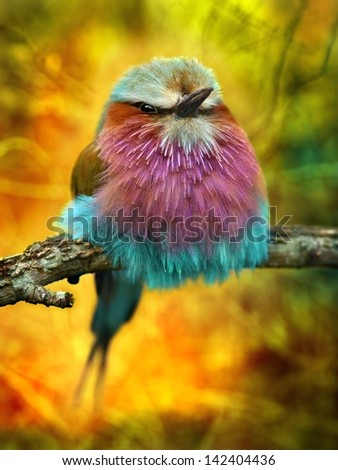 Lilac Breasted Roller bird with funky background - stock photo